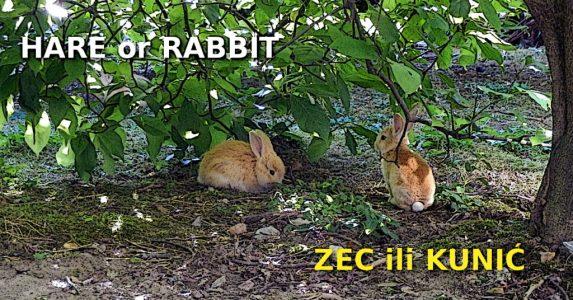 Rabbit, Bunny, Hare